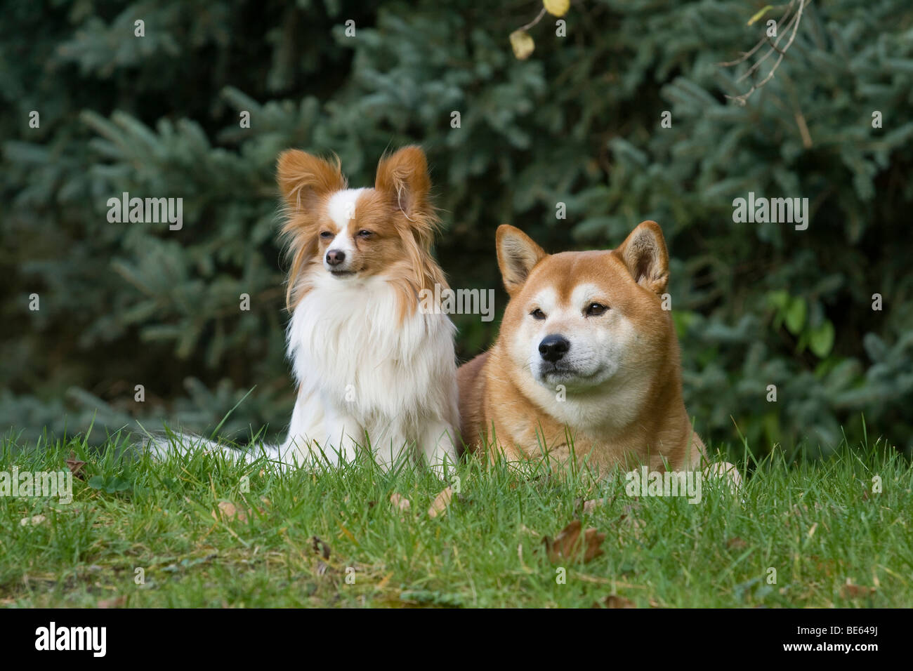 Papillon and Shiba Inu next to each other on a meadow - Stock Image