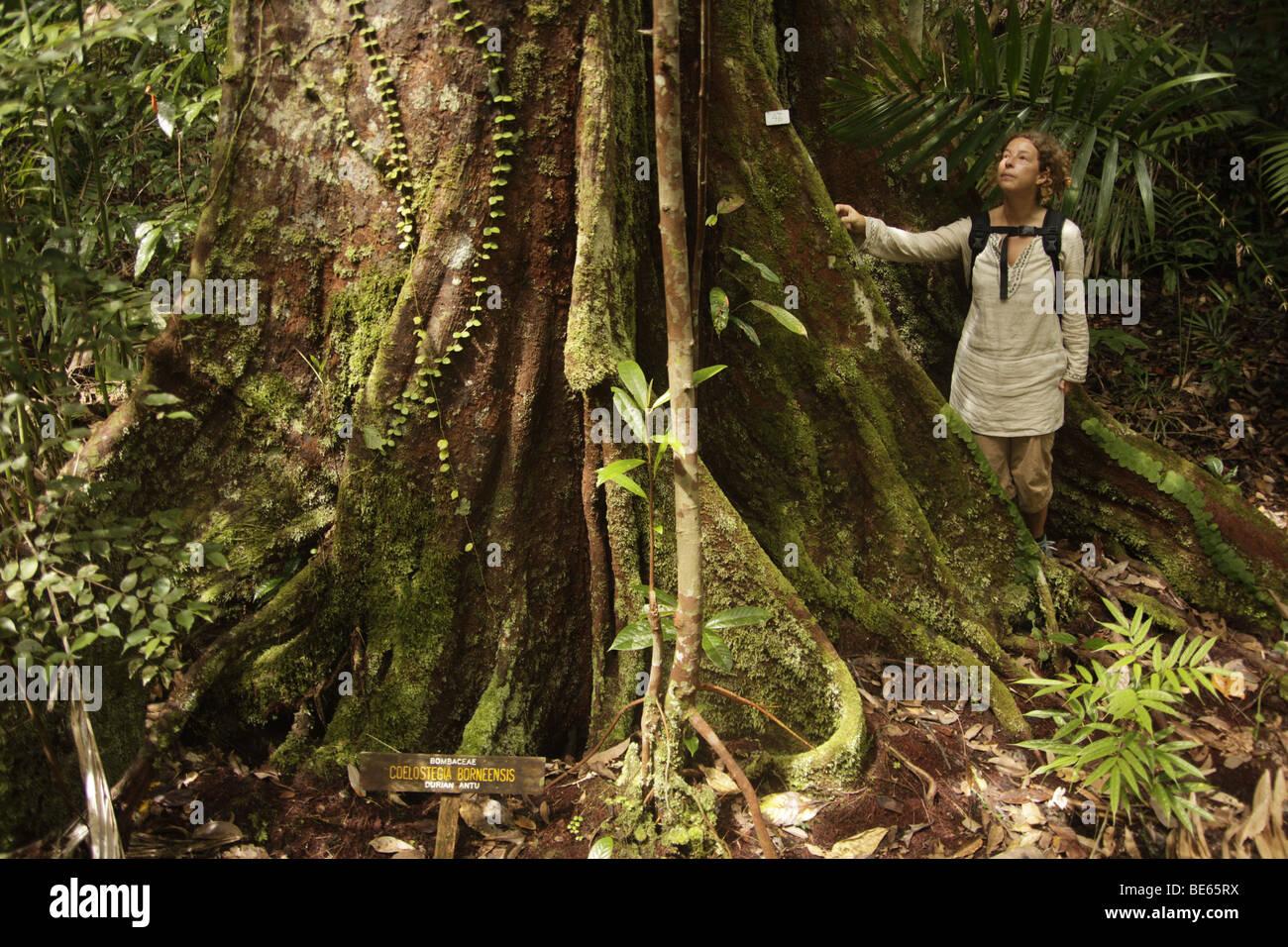 Tourist next to a giant rainforest tree in the Bako National Park near Kuching, Sarawak, Borneo, Malaysia, Southeast - Stock Image