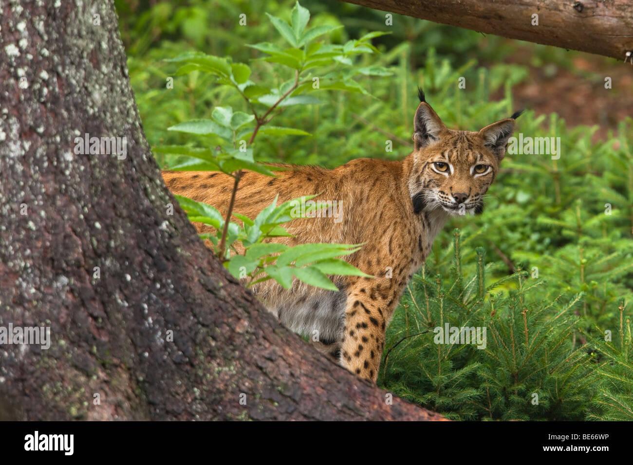 European Lynx (Felis lynx, Lynx lynx) standing behind a tree. - Stock Image