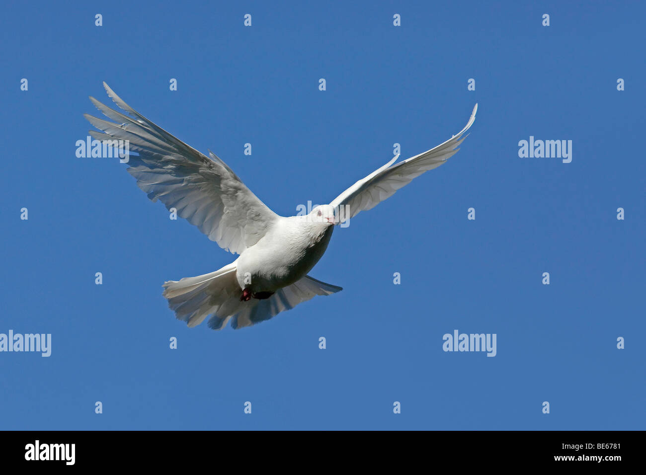 Domestic Pigeon (Columba livia domestica). White dove in flight. - Stock Image