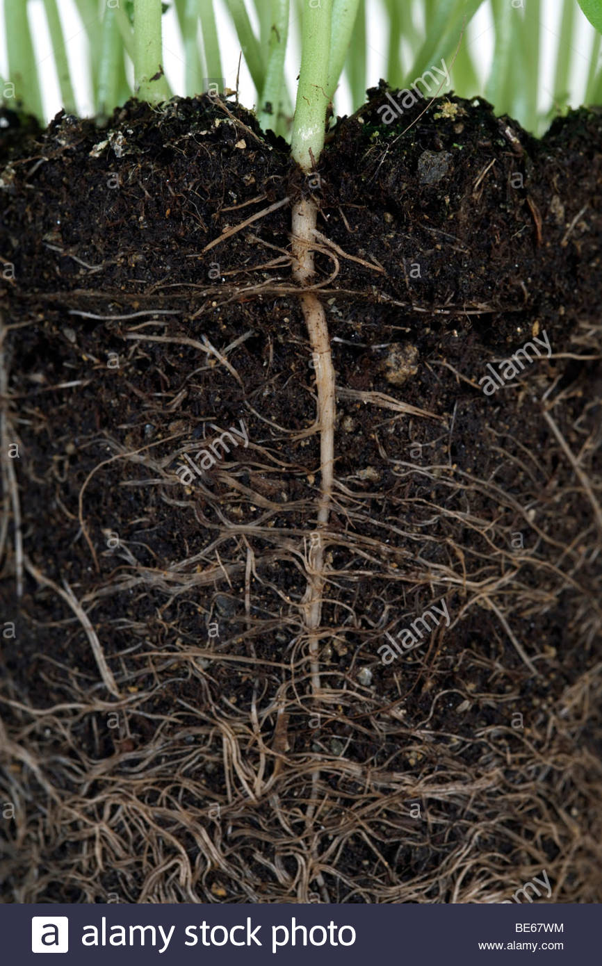 roots from a basil herb potted plant - Stock Image