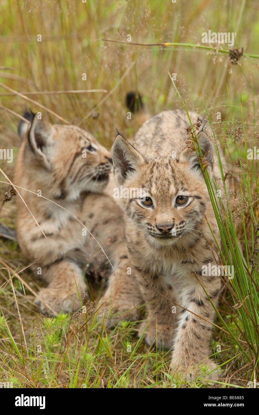 European Lynx (Felis lynx, Lynx lynx). Two young in tall grass. - Stock Image