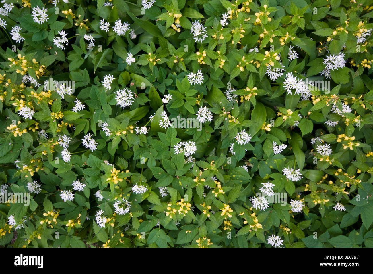 Yellow Archangel (Lamium galeobdolon) and Ramsons (Allium ursinum) Stock Photo