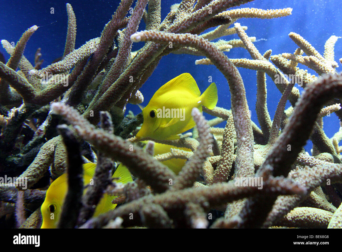 yellow fishes - Stock Image