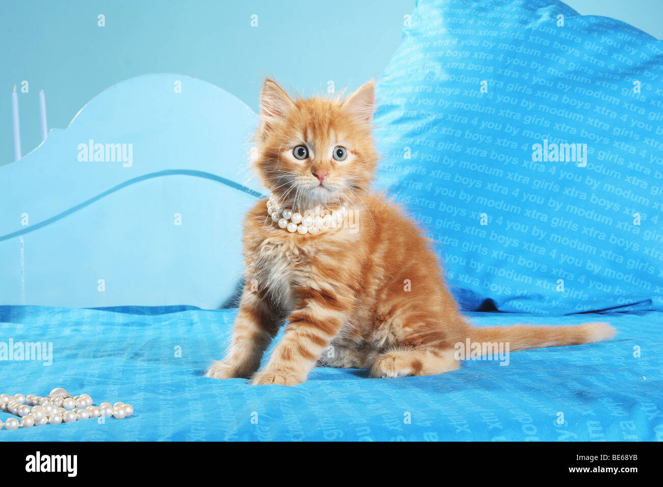 Siberian cat - kitten with pearl necklace on bed - Stock Image