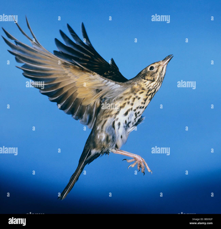 Song Thrush - flying / Turdus philomelos - Stock Image