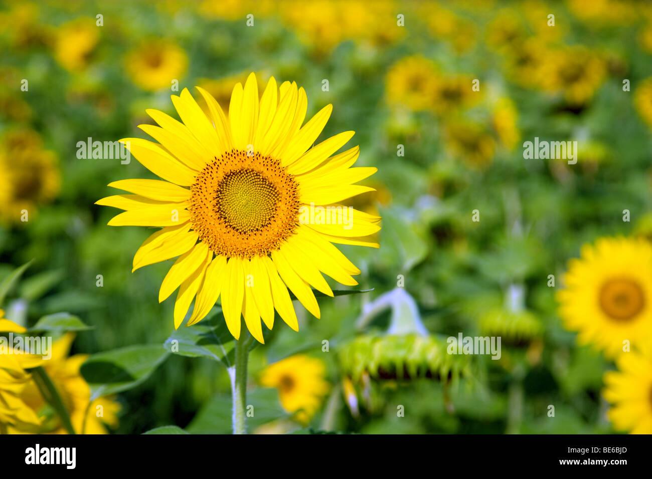 Sunflower field, Aquitaine, France - Stock Image