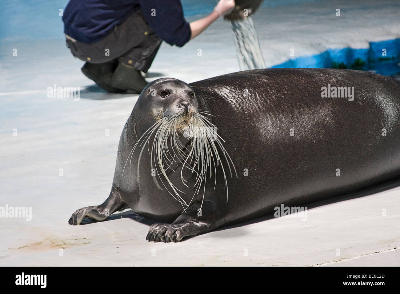 Bearded seal in The Polaria museum and aquarium in Tromso, Norway Stock Photo