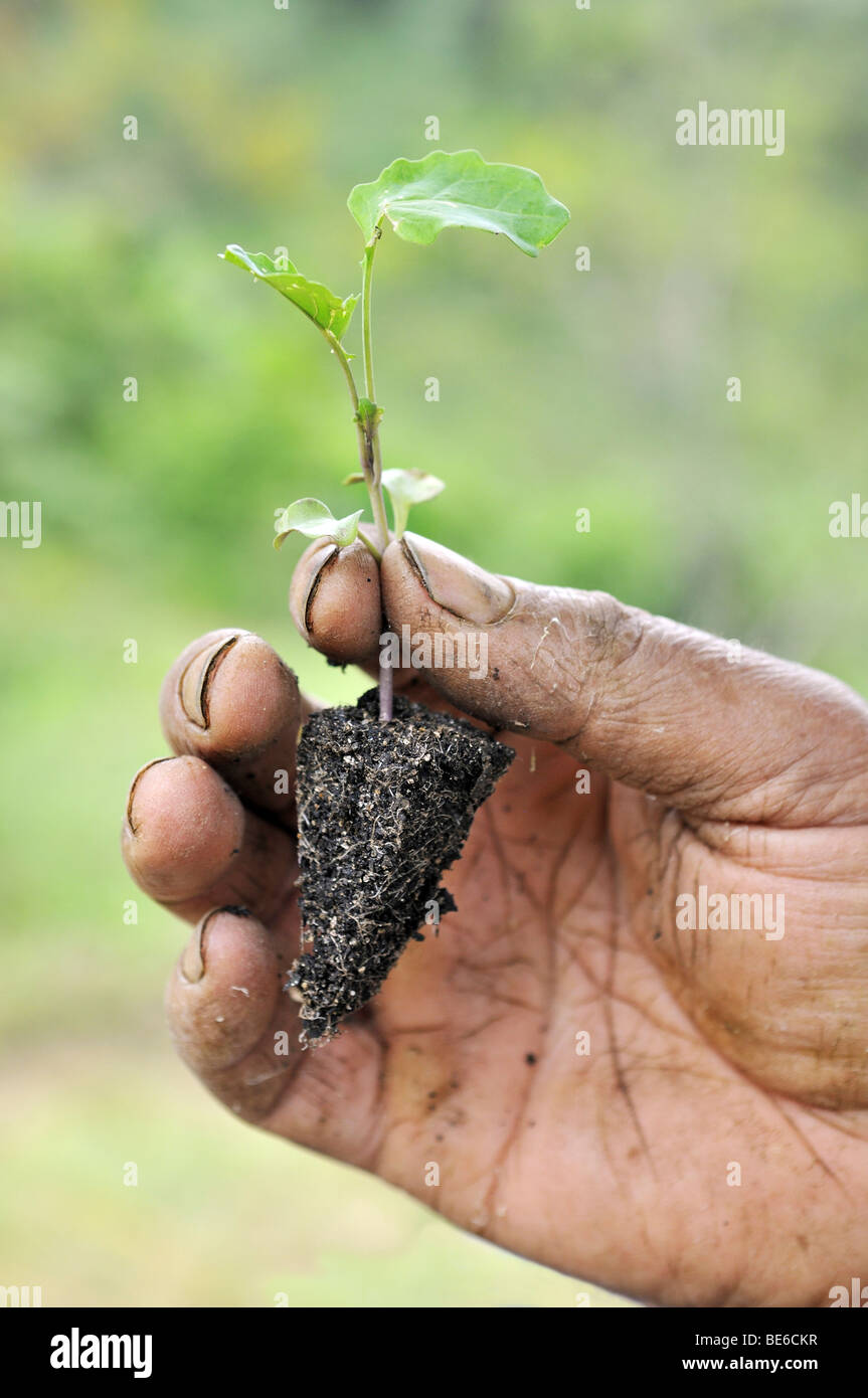 Broccoli shoot in the hands of a farmer, organic farming, Petropolis, Rio de Janeiro, Brazil, South America - Stock Image
