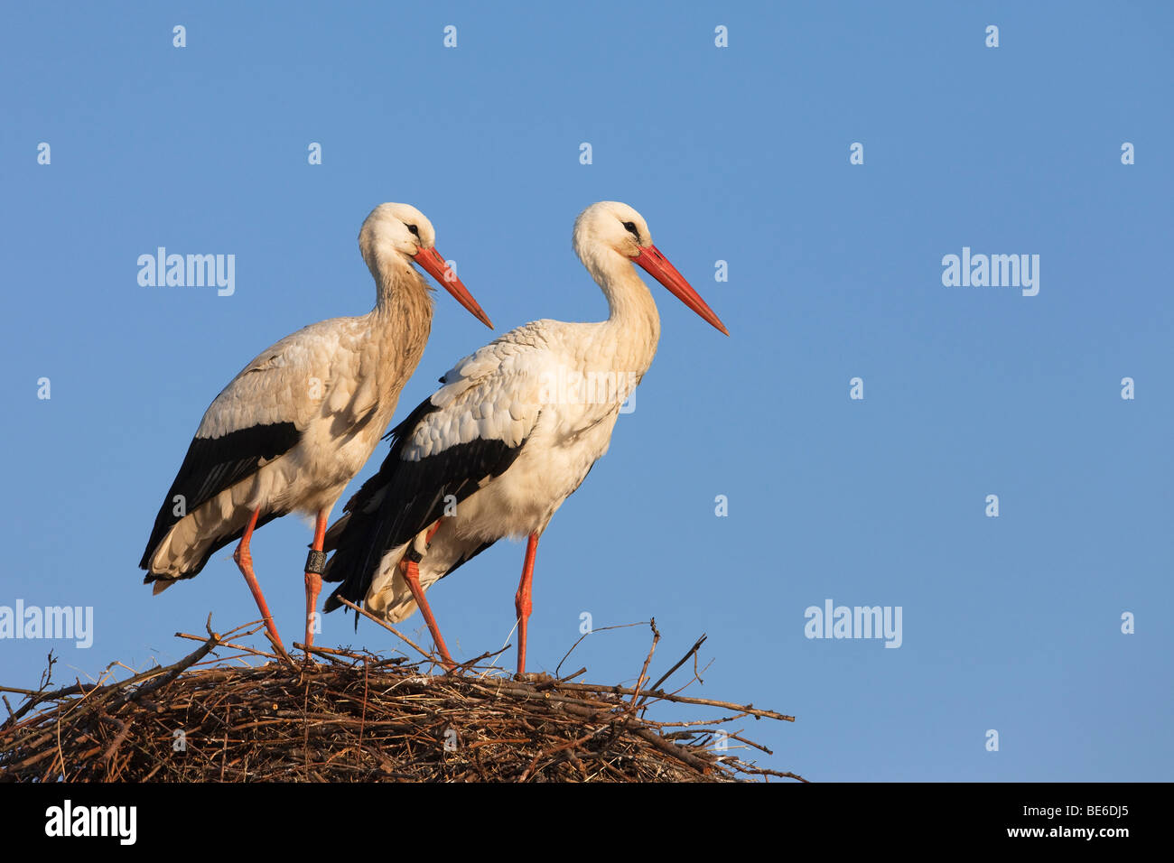 White Stork (Ciconia ciconia), pair standing on nest. Stock Photo