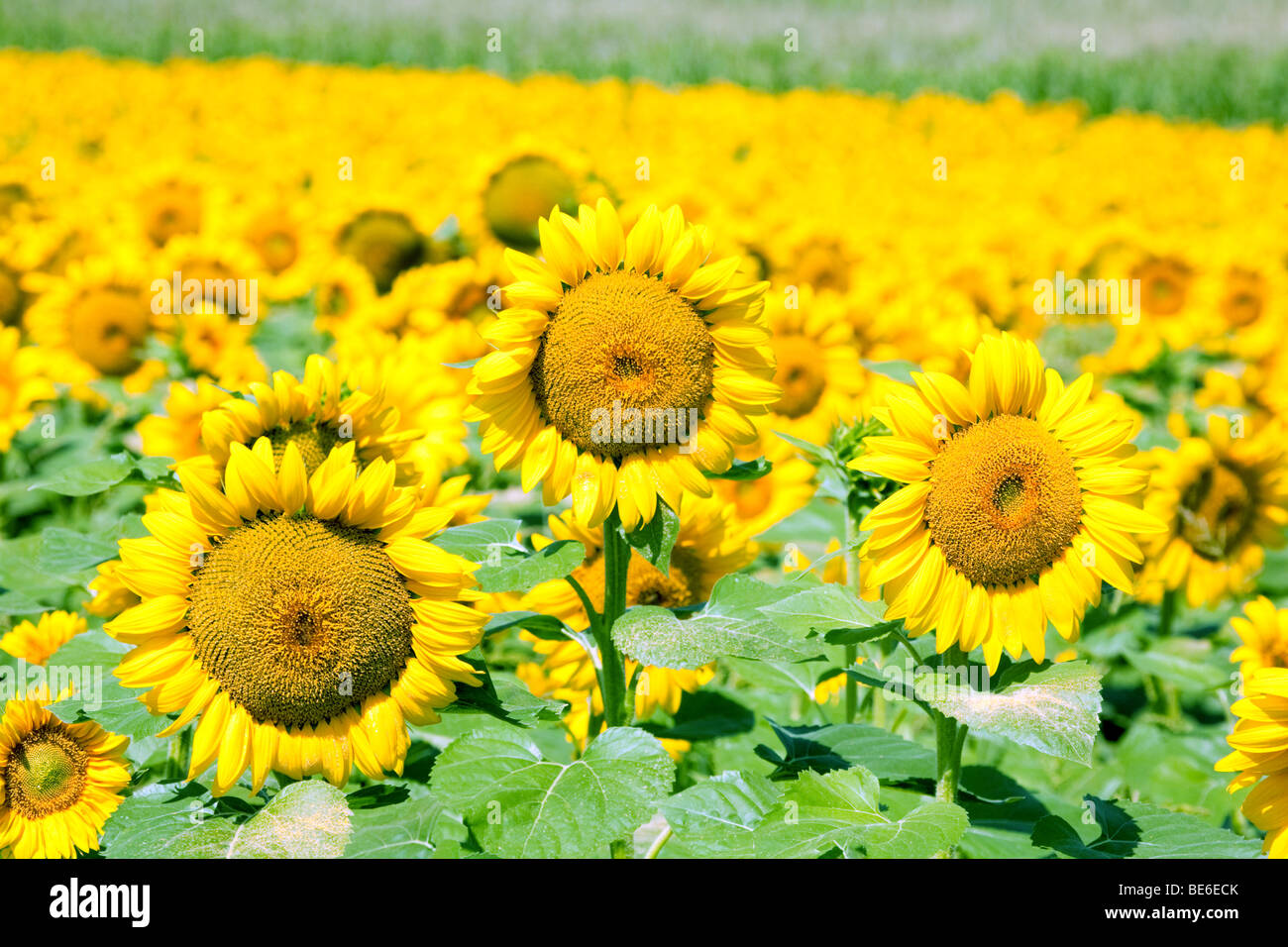 Sunflower field, Aquitaine, France - Stock Image