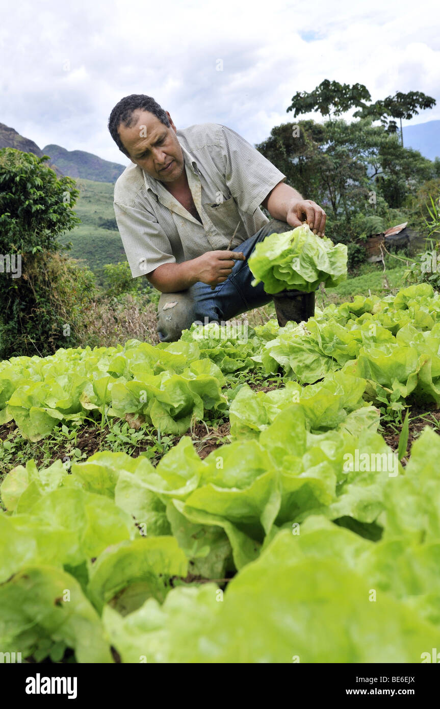 Farmer harvesting lettuce, organic farming, Petropolis, Rio de Janeiro, Brazil, South America - Stock Image