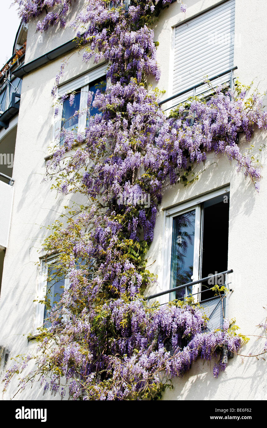 Chinese Wisteria (Wisteria sinensins) twining a house - Stock Image