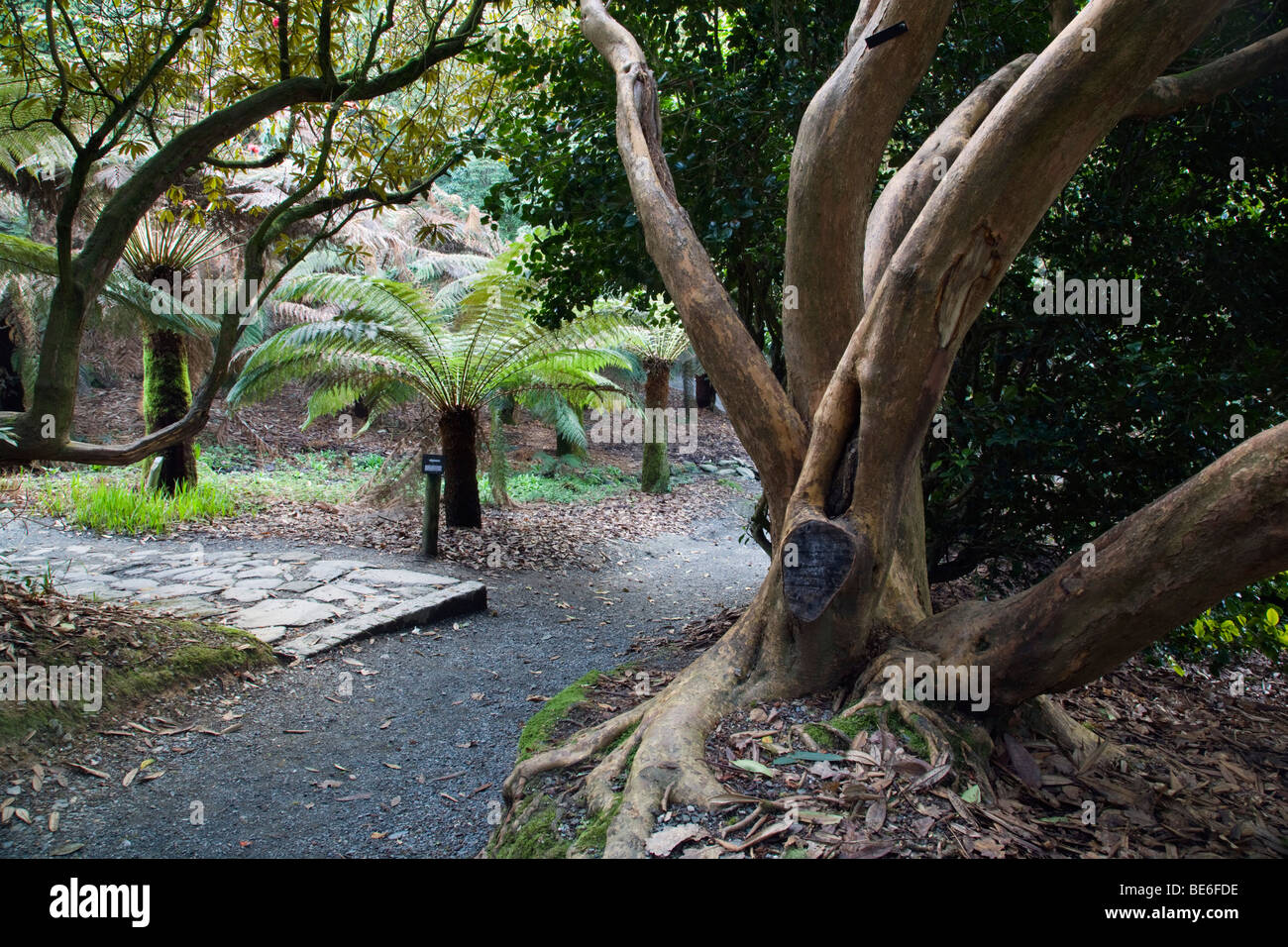 trebah garden; cornwall; tree ferns; - Stock Image