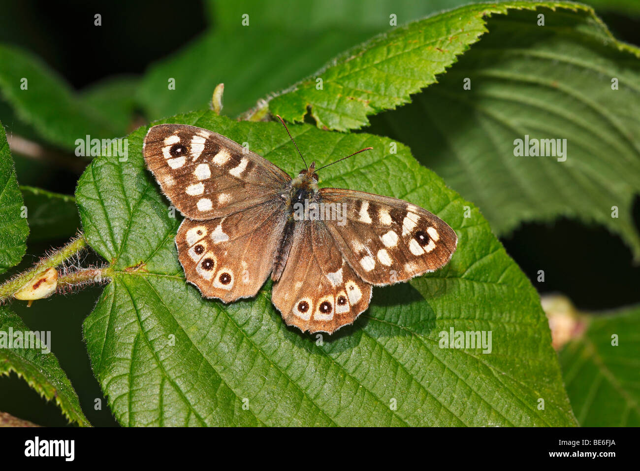 Speckled Wood (Pararge aegeria), butterfly, sitting on a leaf - Stock Image