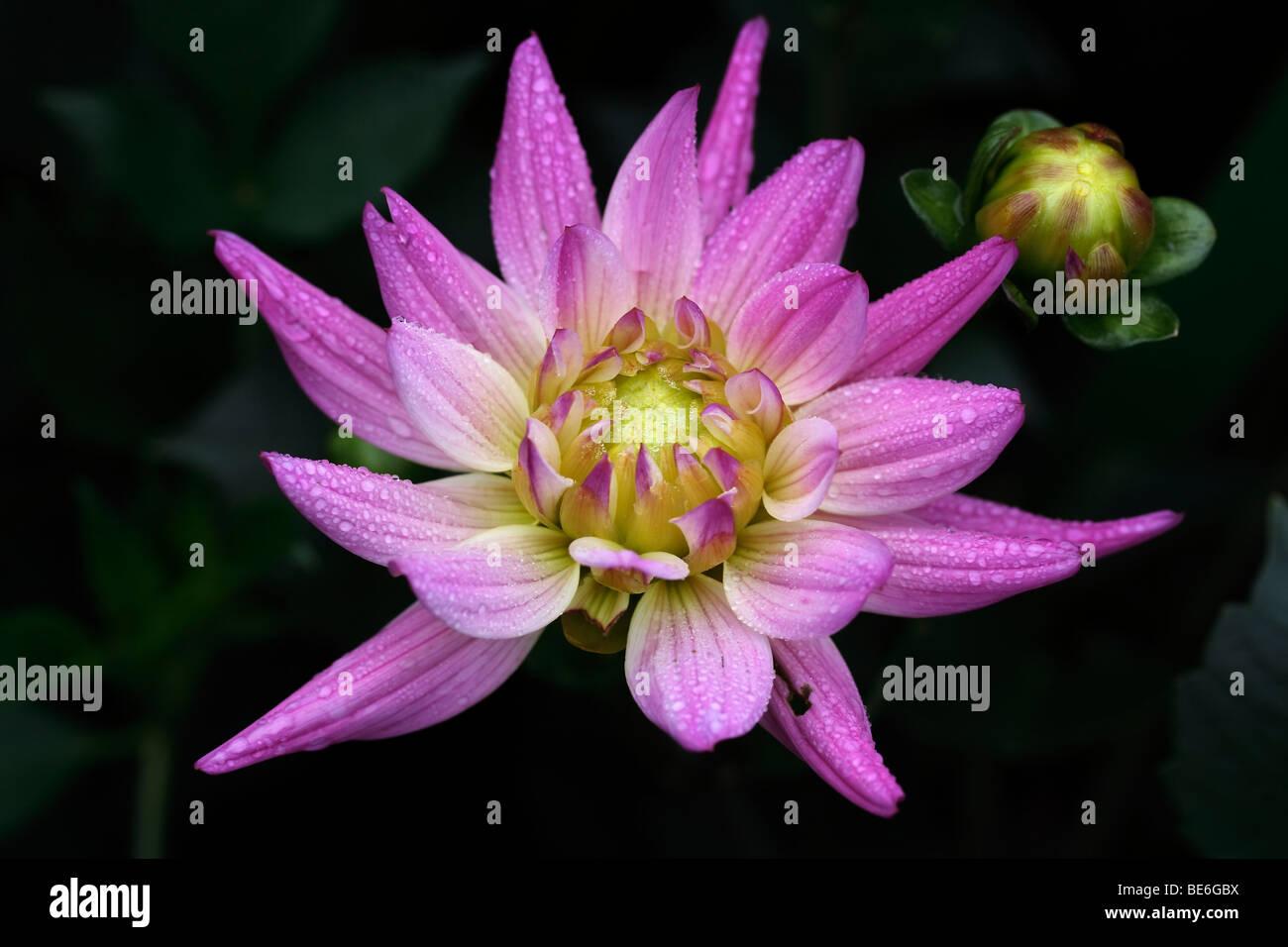 Lily like flower stock photos lily like flower stock images alamy water lily like dahlia flower dahlia hybrida stock image izmirmasajfo