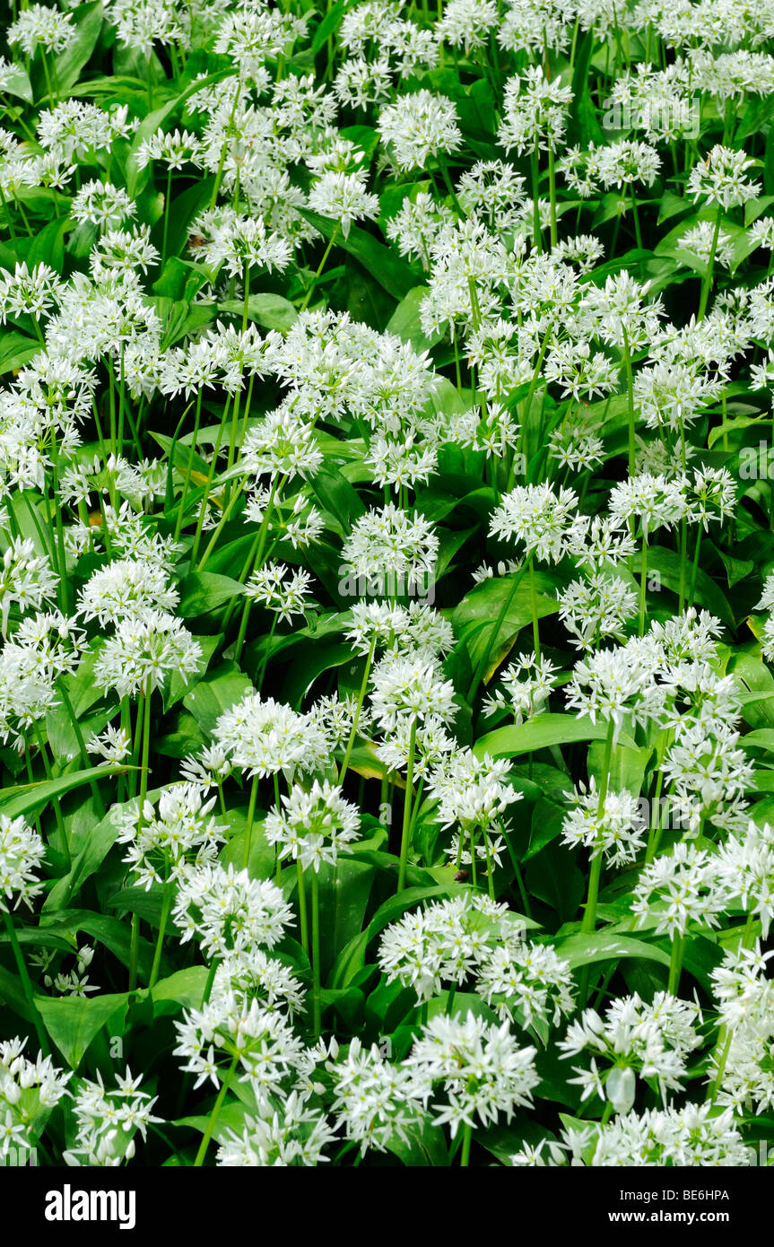 Blossoming Ramson (Allium ursinum), filling the picture Stock Photo