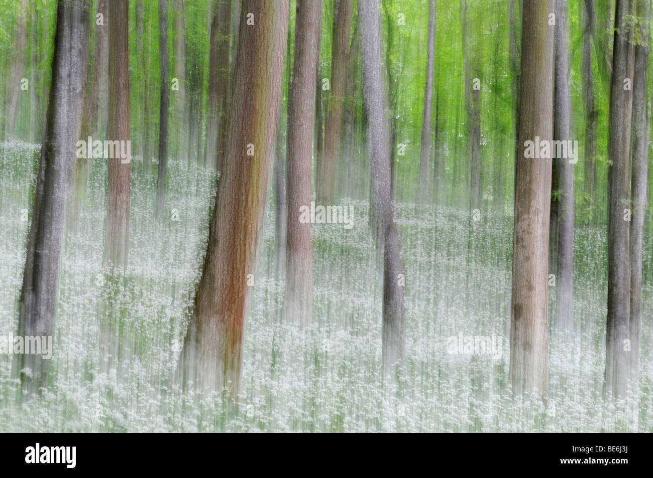 Beech forest (Fagus) with ramson field, blurred - Stock Image
