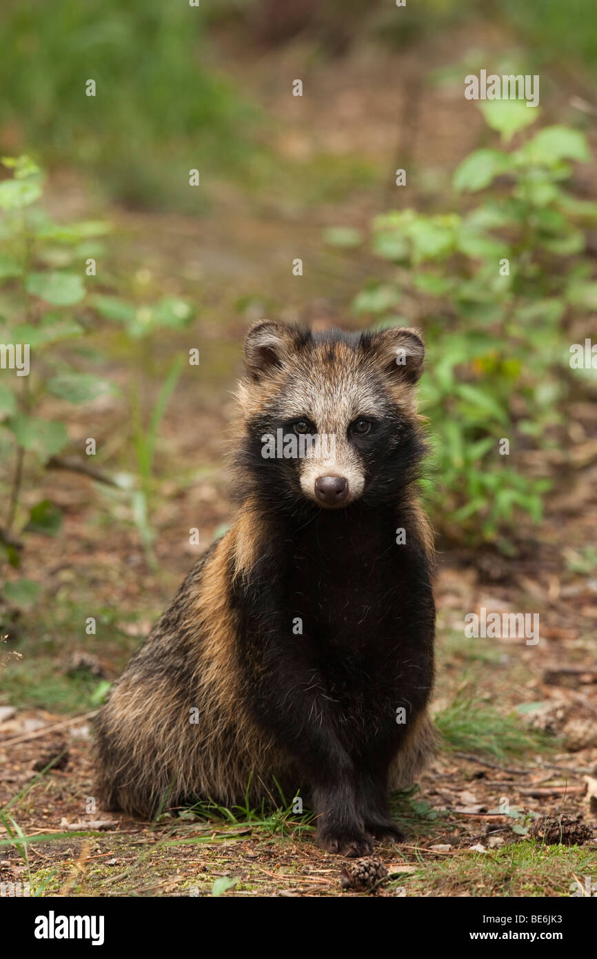 Racoon Dog (Nyctereutes procyonoides), juvenile sitting on the forest floor. - Stock Image