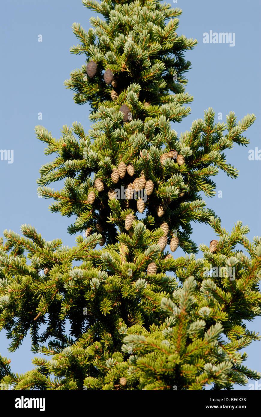 Black spruce, Picea mariana Stock Photo