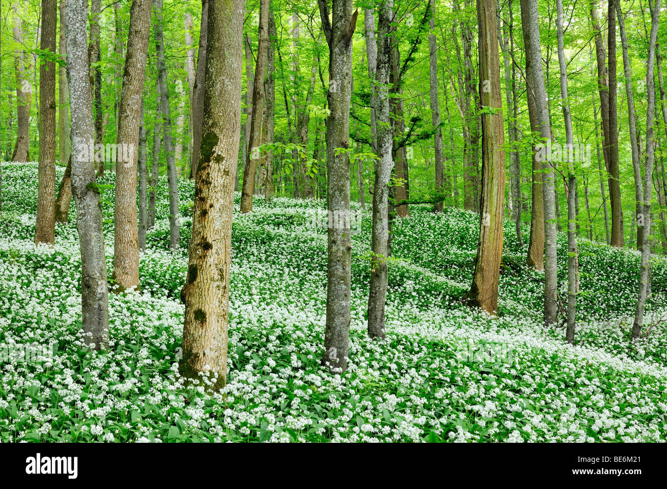 Beech forest with a blossoming Ramson field (Allium ursinum), Germany, Europe - Stock Image