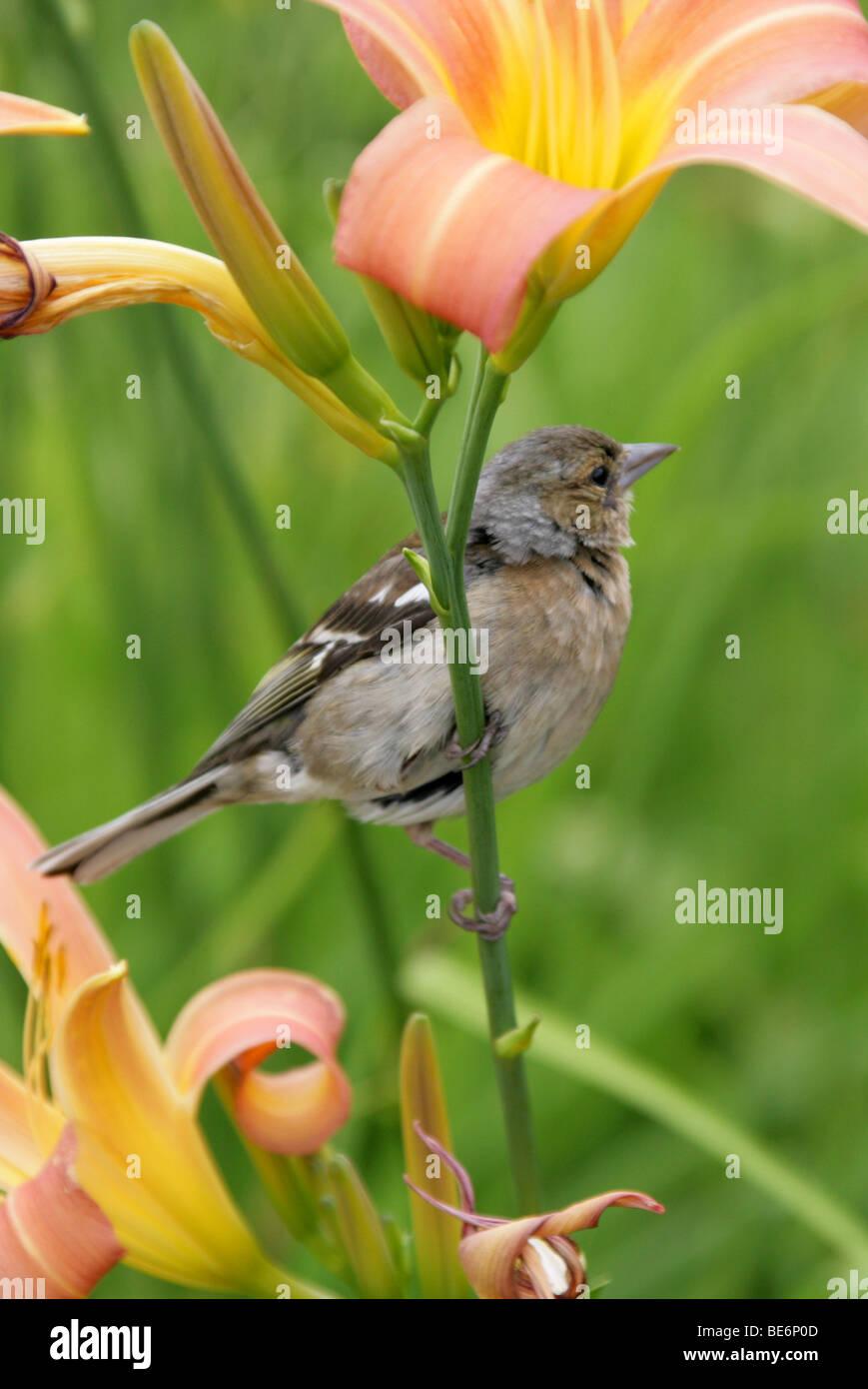 Female Chaffinch, Fringilla coelebs, Fringillidae, Passeriformes aka Spink, Scobby, Shellapple, Wetbird, or Roberd. - Stock Image