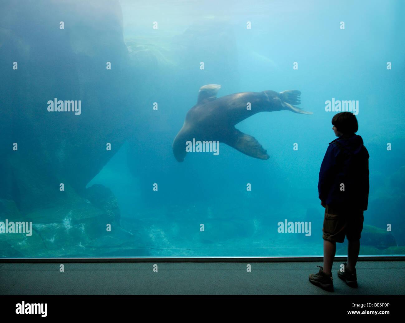 Boy watching Steller sea lion, Eumetopias jubatus, at the Alaska SeaLife center, Seward - Stock Image