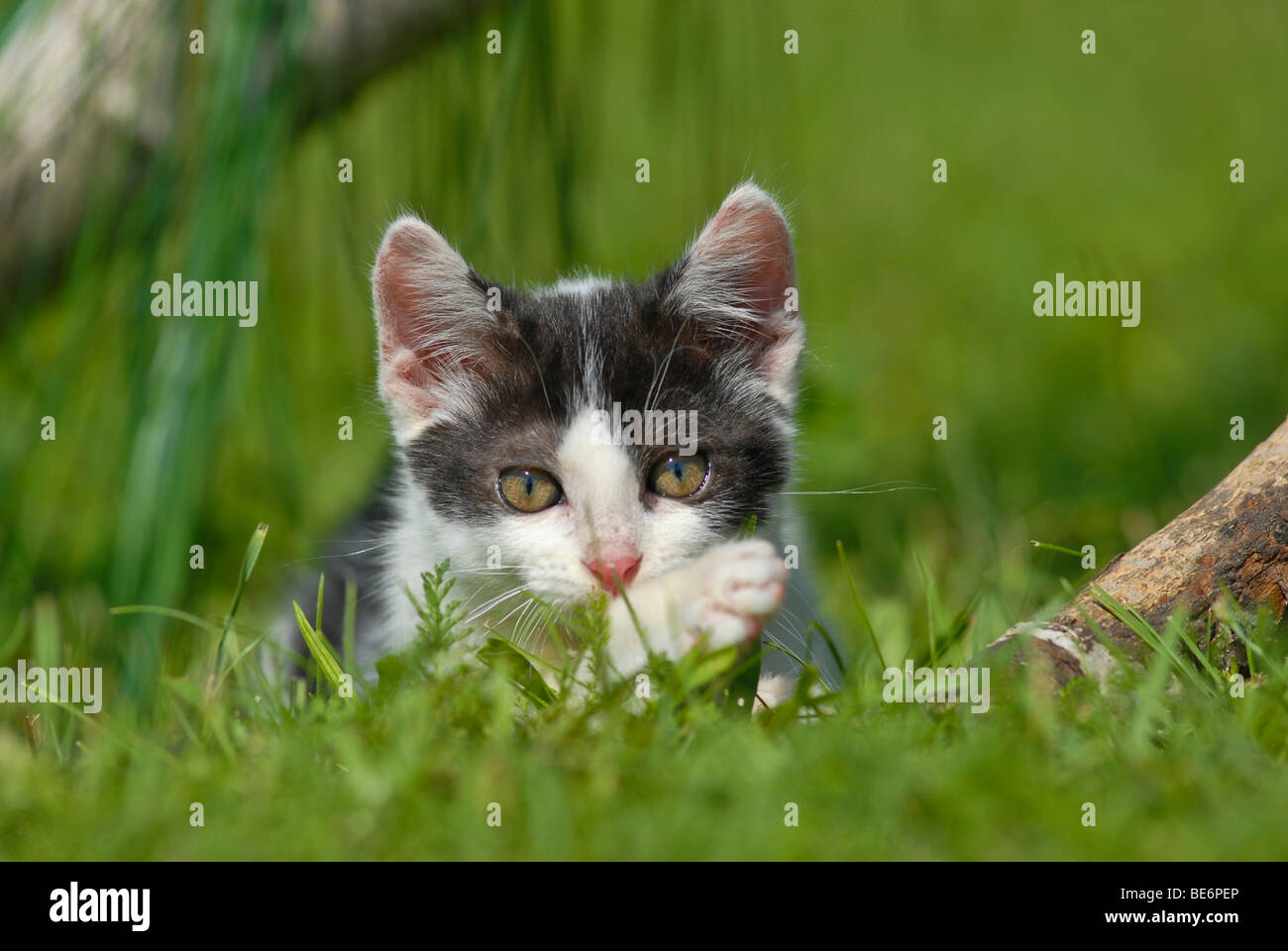 Domestic cat, kitten lying in the grass - Stock Image