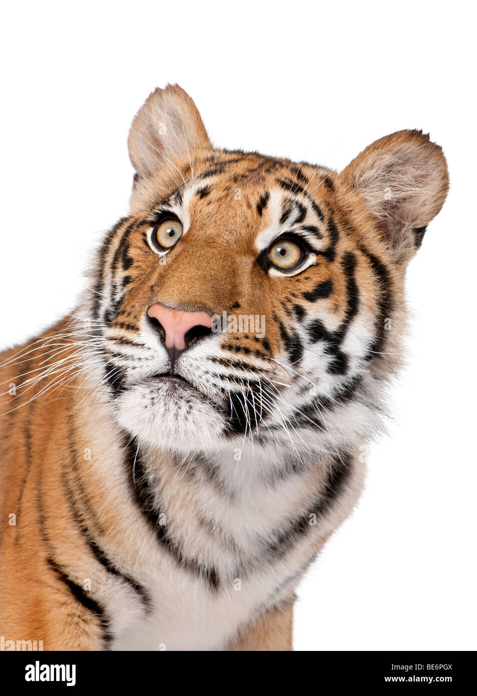 Close-up portrait of Bengal tiger, Panthera tigris tigris, 1 year old, in front of white background, studio shot - Stock Image