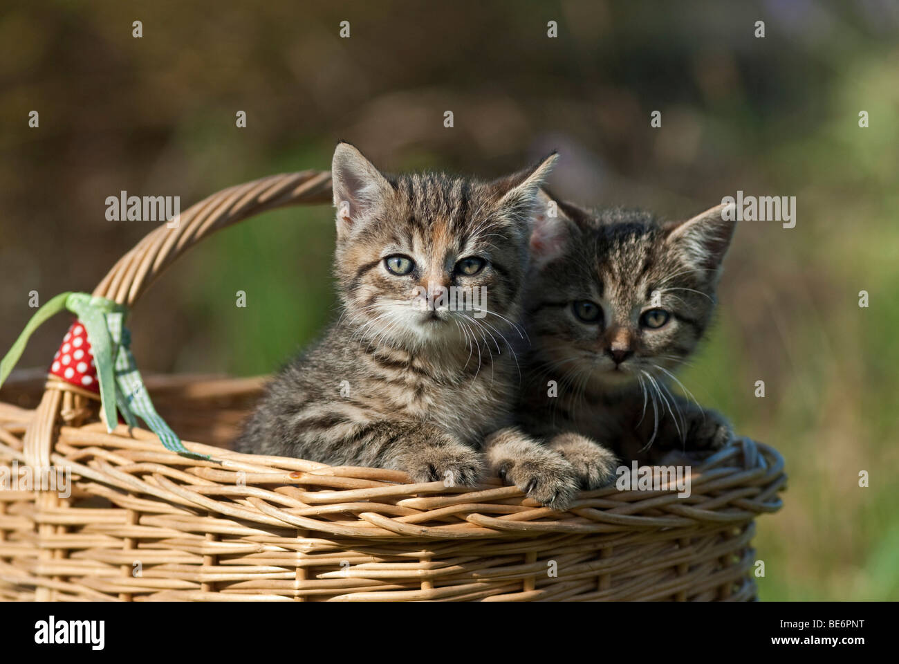 Two domestic cats, kittens in a wicker basket Stock Photo