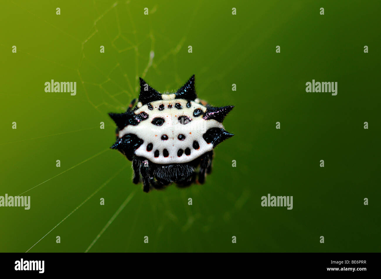A crab-like spiny orb weaver spider. - Stock Image