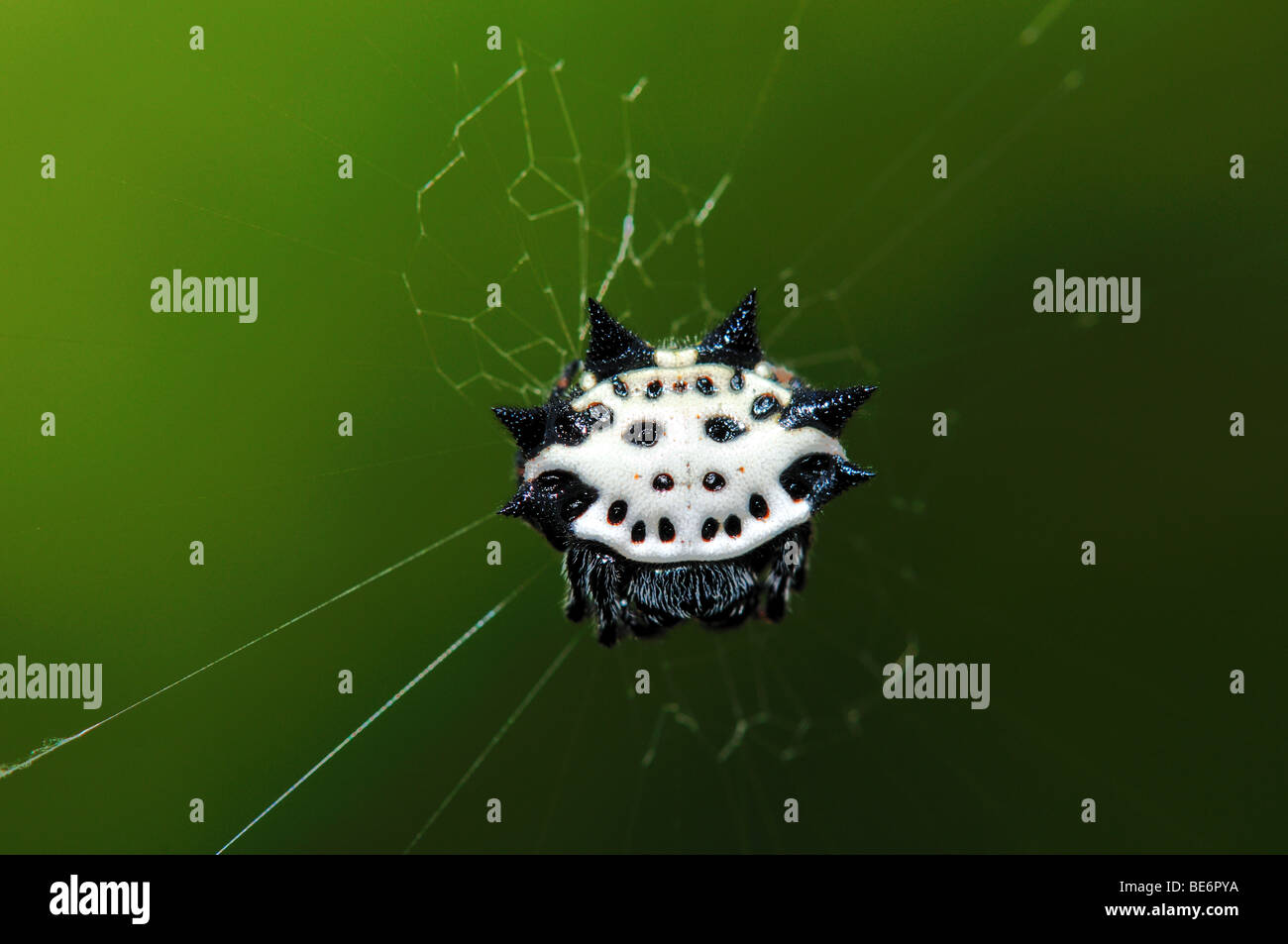 A crab-like spiny orb weaver spider. Texas, USA. - Stock Image