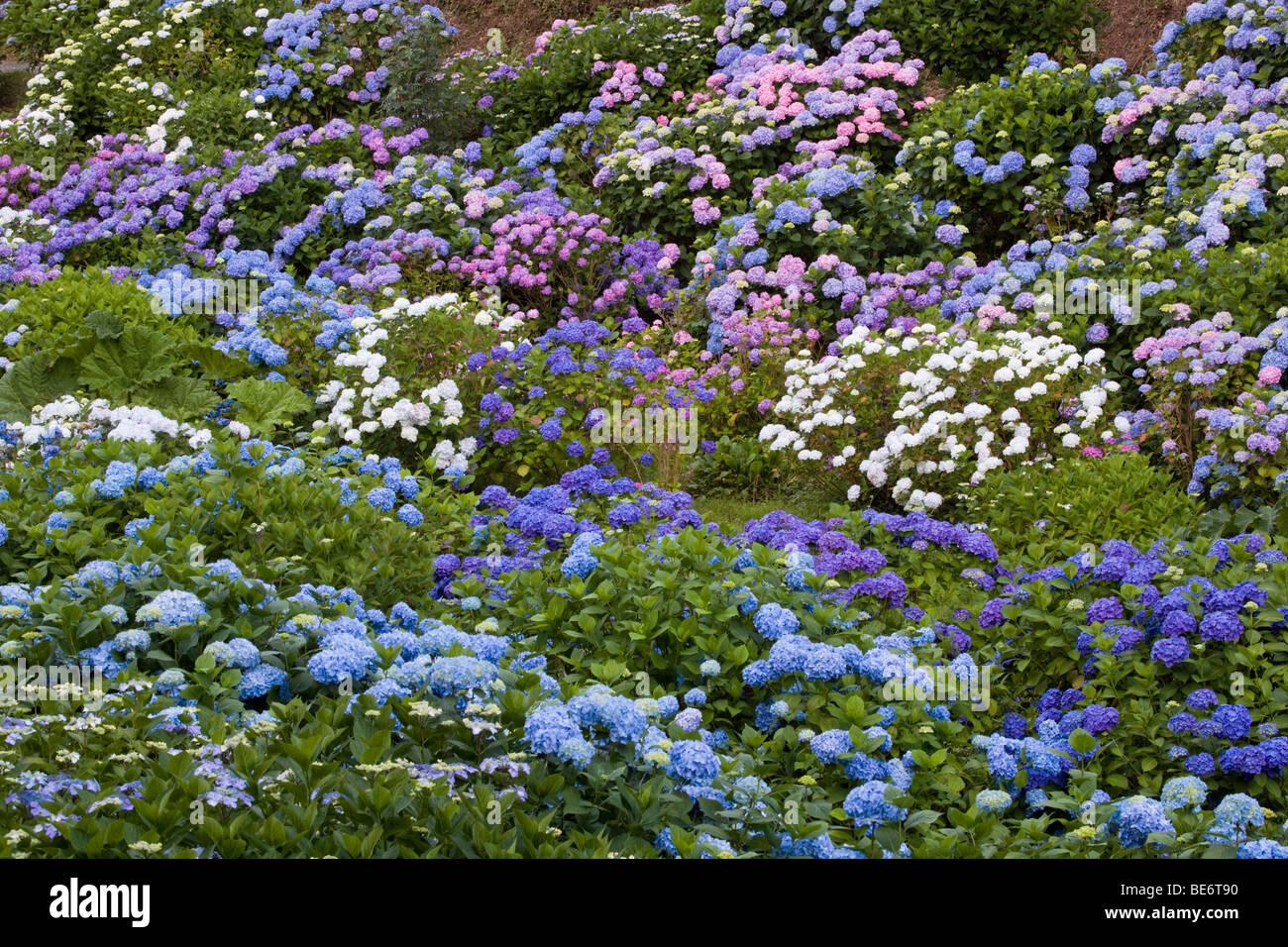 trebah garden; cornwall; hydrangeas - Stock Image