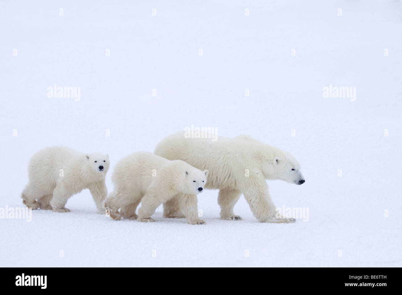 Mother polar bear and cubs walking in snow-covered field ...