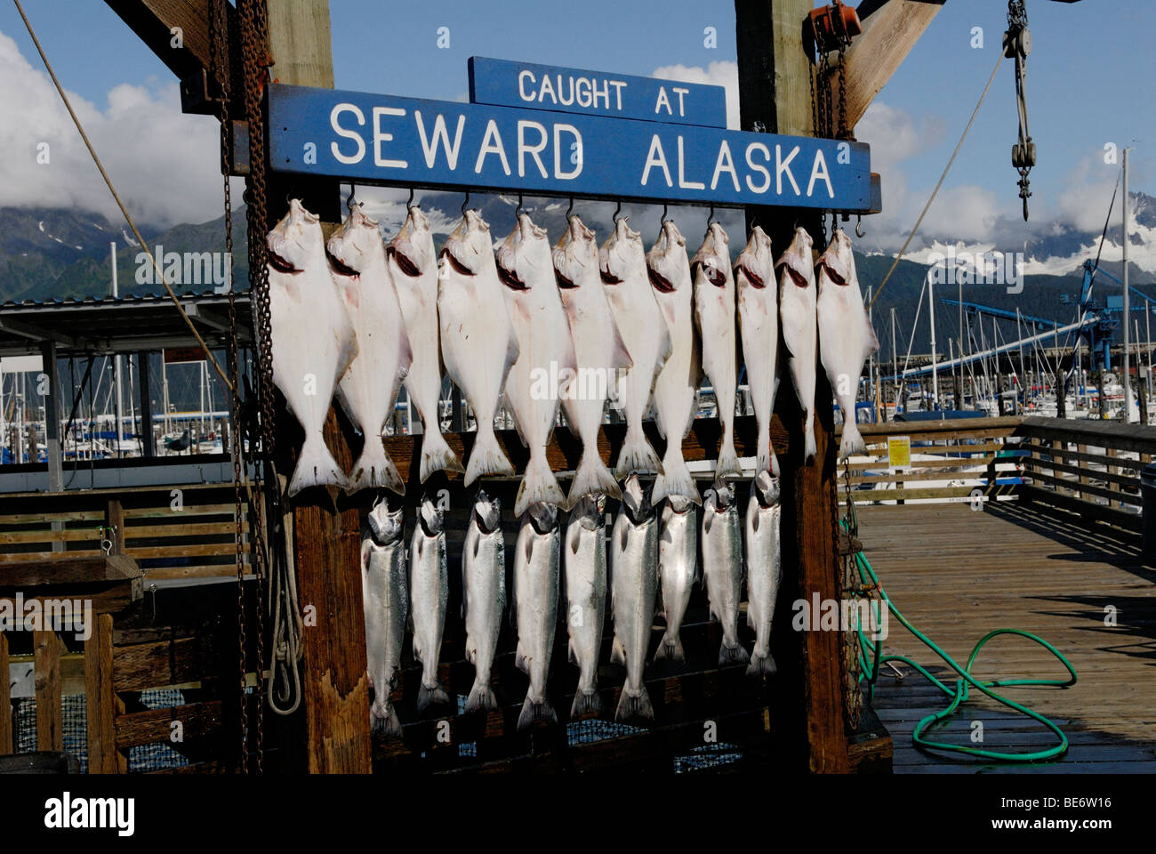 Halibut, Hippoglossus stenolepis, and salmon catch from a charter boat, Seward, Alaska - Stock Image
