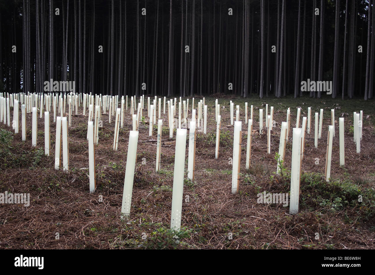 Plastic wrapping as a protection for seedlings of trees - Stock Image