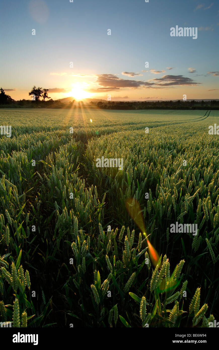 The sun gleams over a field of corn with tractor lines running through it - Stock Image