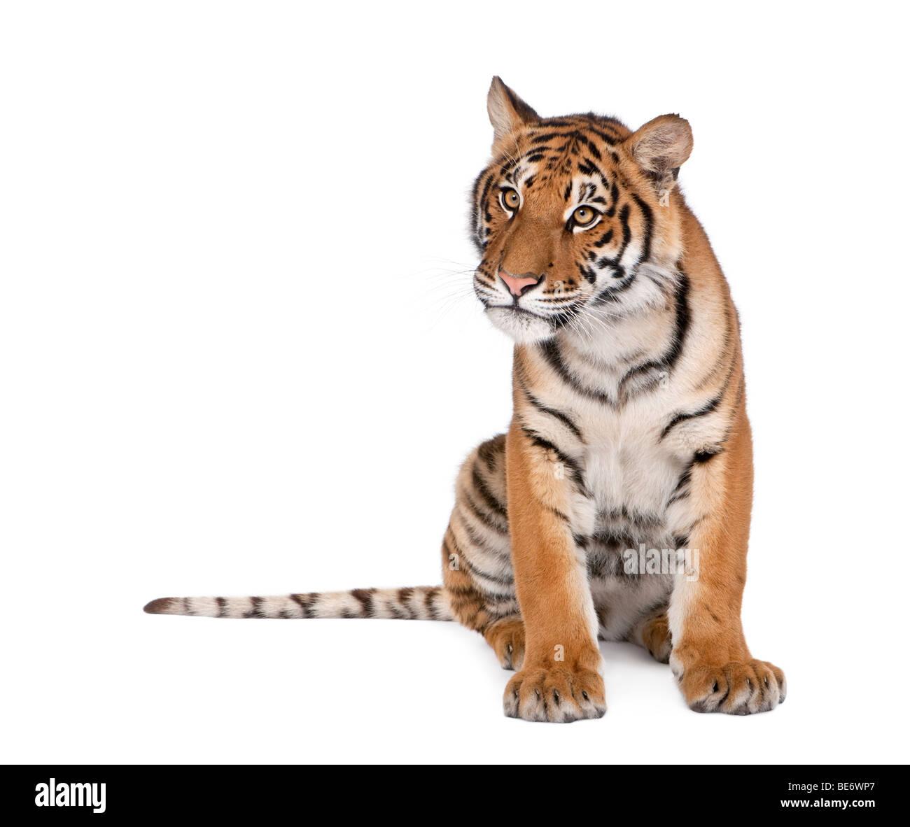 Portrait of Bengal Tiger, Panthera tigris tigris, 1 year old, sitting in front of white background, studio shot Stock Photo