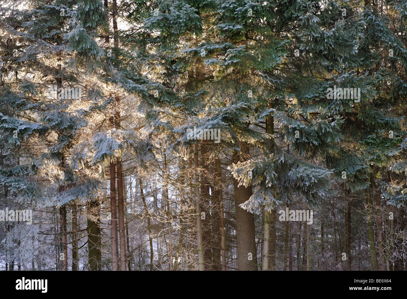 Sun shining through a hoar frost covered forest - Stock Image