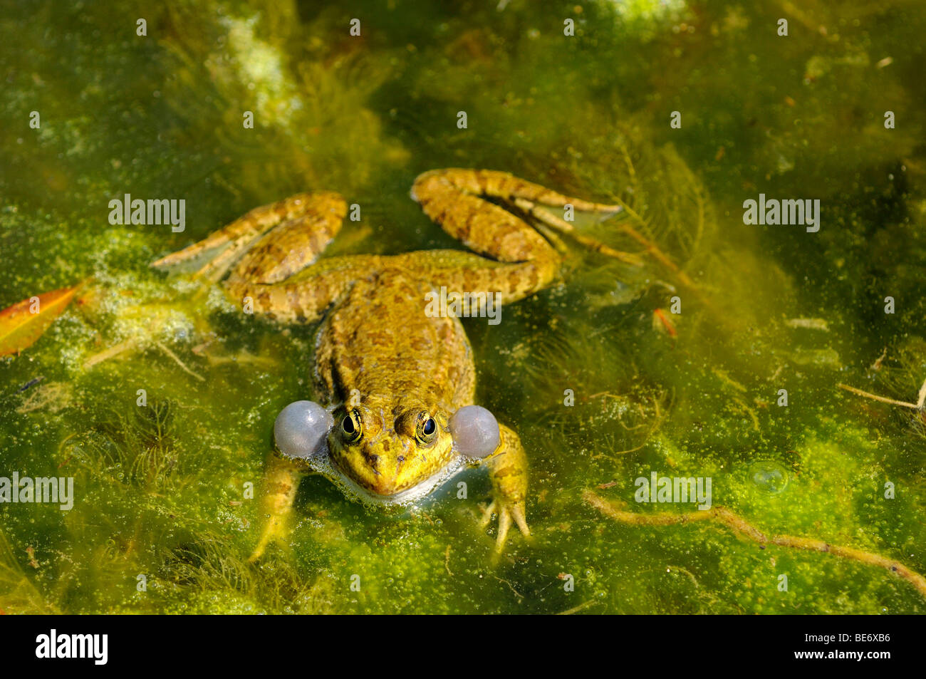 Male Pond Frog or Edible Frog (Rana kl. Esculenta) - Stock Image