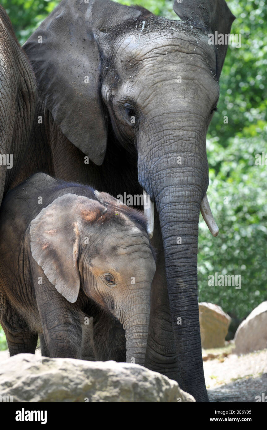 Mother elephant with calf - Stock Image
