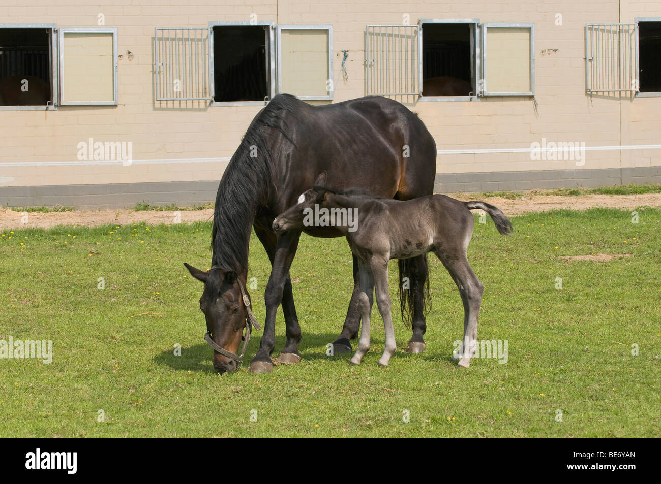 Mare with 2 days old foal at pasture in front of the horse barn, foals teasing the neck of the mare - Stock Image