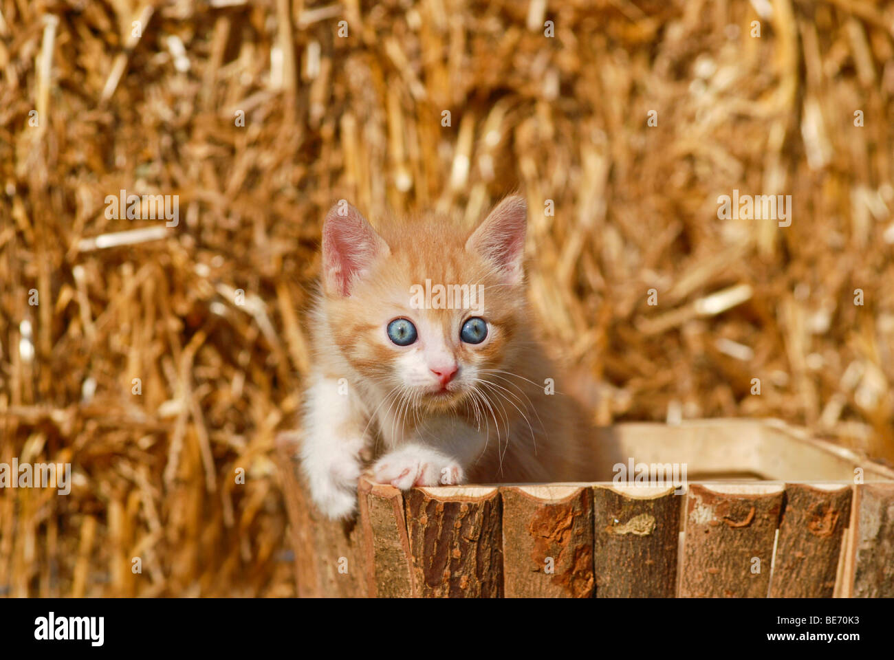 Domestic cat, kitten in a wooden box in front of straw - Stock Image