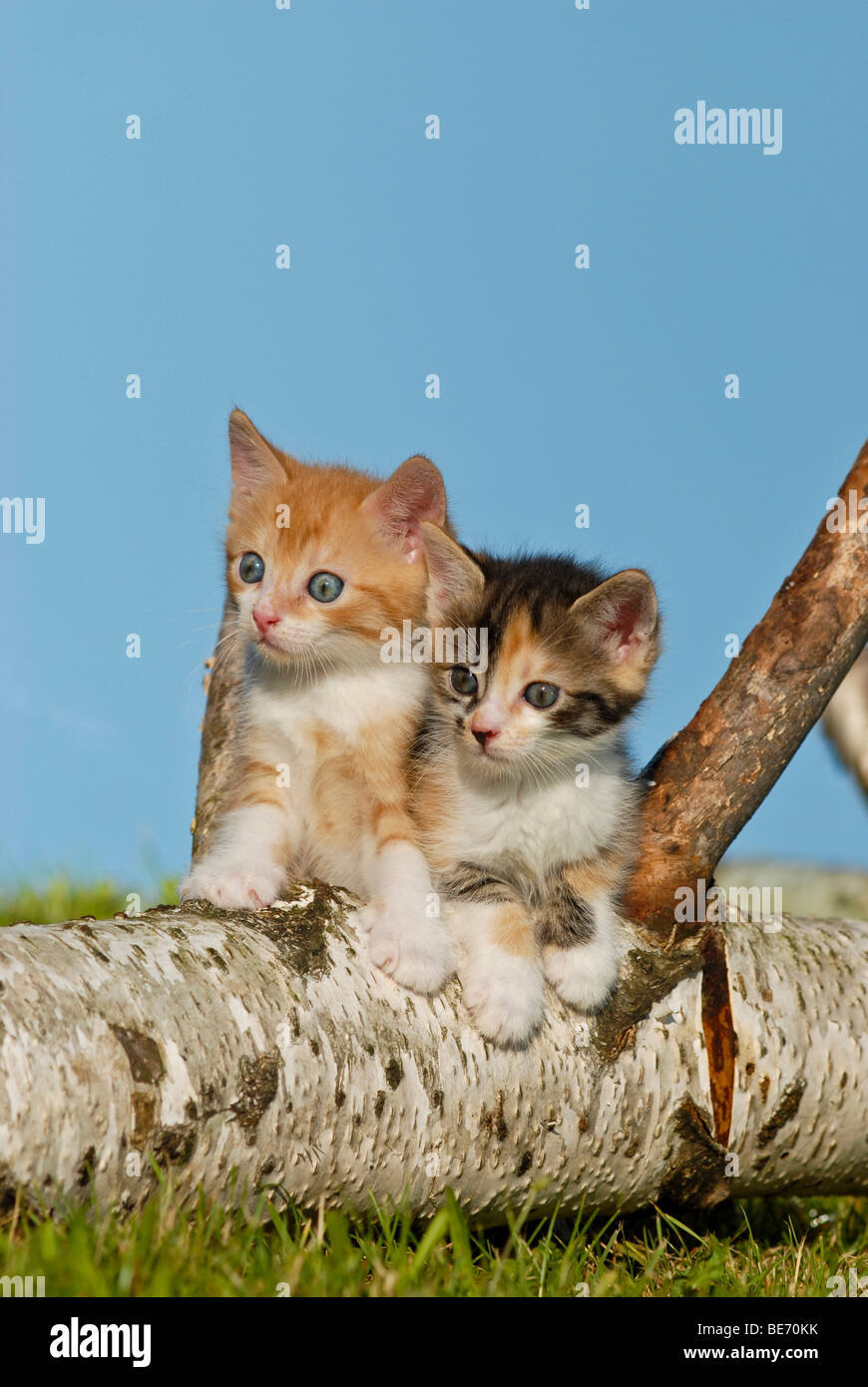 Two domestic cats, kittens climbing on a birch log Stock Photo