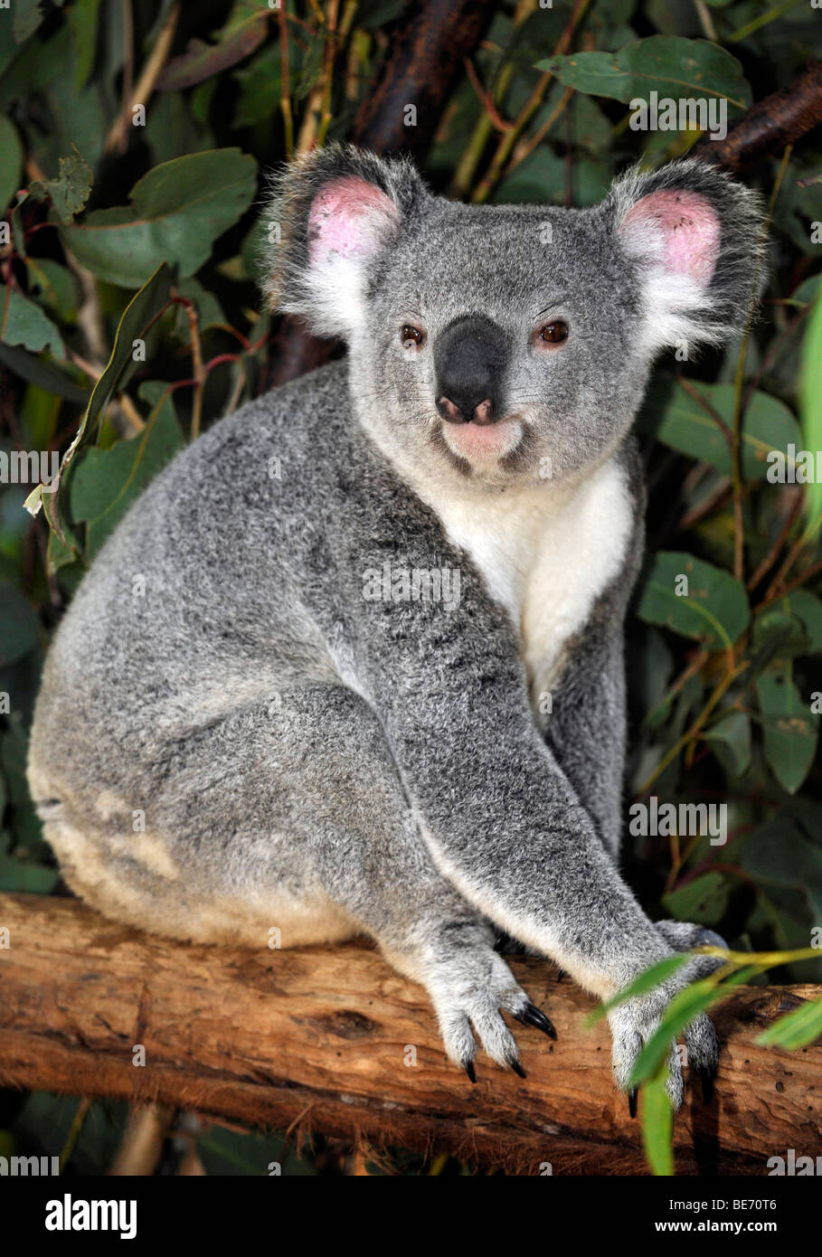 Koala (Phascolarctos cinereus) in eucalypt tree (Eucalyptus), Queensland, Australia - Stock Image