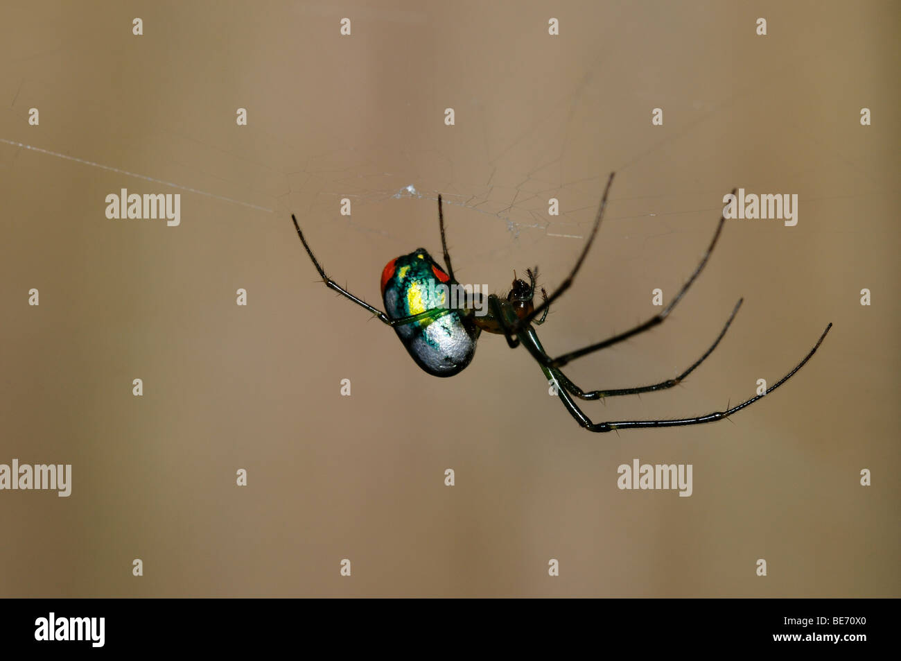 A colorful Orchard orbweaver spider. Texas, USA. - Stock Image
