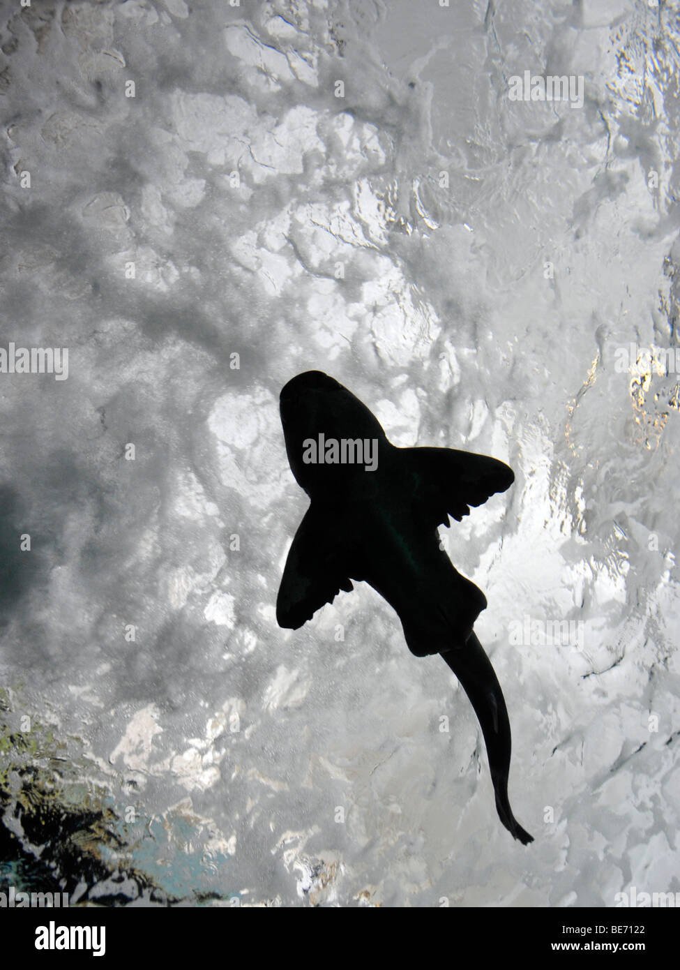 Bottom view of a Port Jackson shark (Heterodontus portusjacksoni) in an acrylic tunnel, large display aquarium, - Stock Image
