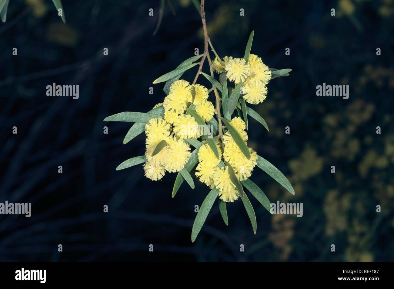 Flinders Range Wattle Acacia Iteaphylla Family Fabaceae Stock