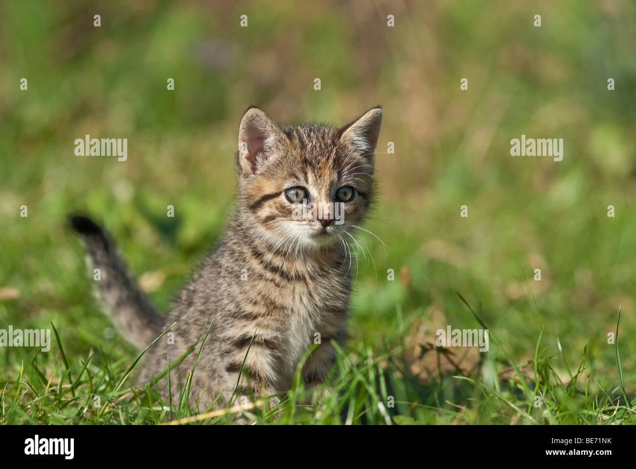 Domestic cat, kitten on a meadow - Stock Image