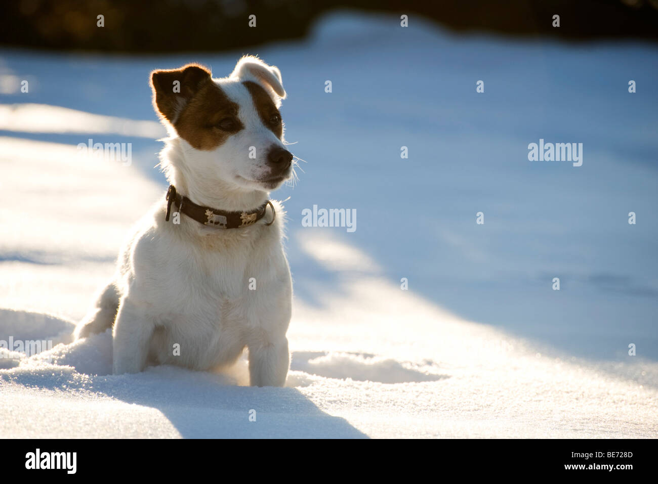 Dog sitting in snow - Stock Image